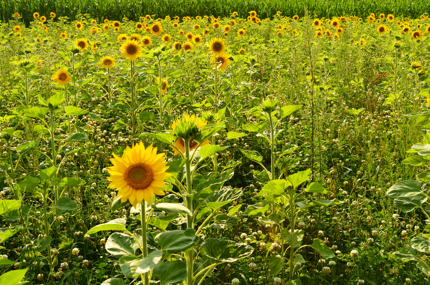 Sonnenblumenfeld3b